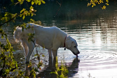 Dharma Drinking (kretyen) Tags: morning arizona usa dog white nikon drink lap cochise refreshing thirsty concentriccircles akbash chiricahua d40 sunglowranch