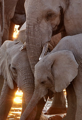 Three Elephants, Etosha National Park, Namibia (davidkiene) Tags: africa sunset elephant safari namibia etosha potofgold blueribbonwinner moringa etoshanationalpark impressedbeauty aplusphoto moringawaterhole damniwishidtakenthat fantasticwildlife 100commentgroup naturescreations