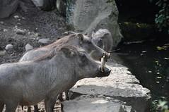 Warthog romance