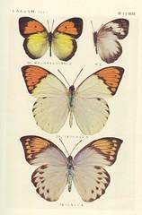 papillon 12