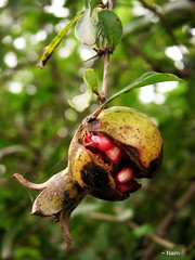 Wild Pomegranate (~ naim) Tags: autumn red food plant fruit web pomegranate mazandaran multimegashot