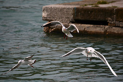 Seagulls (Michele Catania) Tags: sea seagulls canon three fly mare seagull volo porto tre gabbiani gabbiano monfalcone volare canonefs55250mm michelecatania