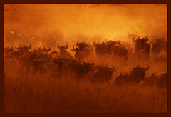 Serengeti (hvhe1) Tags: africa sunset nature animal tanzania bravo searchthebest wildlife migration serengeti gnu wildebeest interestingness2 naturesfinest firstquality specanimal hvhe1 hennievanheerden visiongroup diamondclassphotographer theperfectphotographer