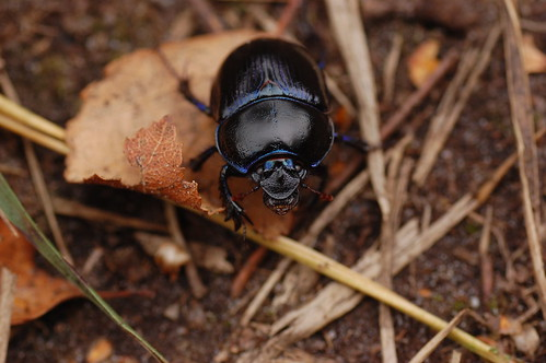 New Forest Beetle - 2
