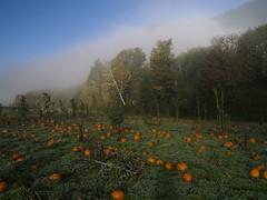 霧中的南瓜2