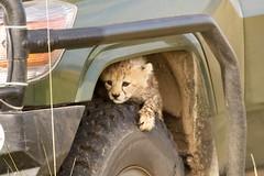 Shakira's Cub (Lyndon Firman) Tags: cute cub kenya cheetah shakira masaimara acinonyxjubatus animalkingdomelite