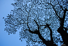 : silhouette in sky blue (audiOscience!) Tags: old blue sky black tree leaves silhouette asia afternoon branches philippines lookingup espana manila southeast ust luzon universityofsantotomas flickrexplore nikond80 audioscience sangoyo christianlucassangoyo