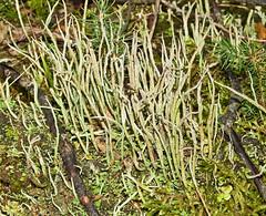 Cladonia cornuta 'Bighorn Cladonia' (dougwaylett) Tags: wild canada native alberta cladonia cladoniaceae fruticose fruticoselichen brownloweryprovincialpark clado0niacornuta bighorncladonia