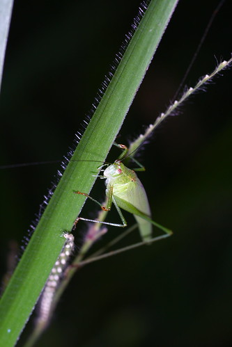 Grasshopper @ Awana,Genting