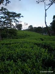 PA010278 (sundeep.an) Tags: teaplantation teaestate tatateaestate