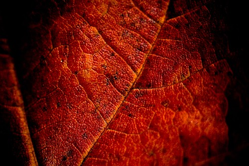 Red Leaf, Up Close and Personal