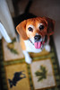 Pfft (Pressit) Tags: dog beagle tongue nikon willow 50mmf14d d700 beggingforamarshmallow