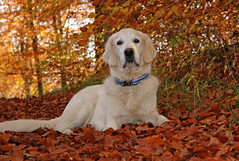 Ditte in the golden leaves (Ingrid0804) Tags: wood autumn friends fab dog fall forest goldenretriever autumnleaves autumncolours perros soe supershot diamondclassphotographer goldstaraward 100commentgroup naturescreations saariysqualitypictures memorycornerportraits