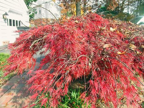 japanese maple dwarf. Dwarf Japanese Maple Tree