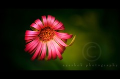 Happy B'Day Naved (ayashok photography) Tags: pink flower green nature nikon hbw nikonstunninggallery nikond40 krishlikesit ayashok nikor55200mm happybirthdaynaved agna2