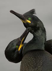 Helen-IMG_9826-Edit (Yoda of Dagaba) Tags: black bird shag farneislands
