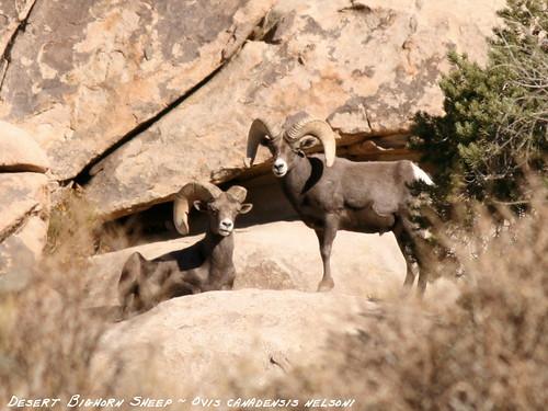 desert bighorn sheep  ovis
