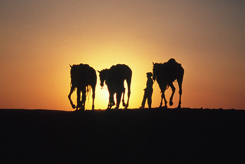 Cairo (Egypt) - Horses  in the desert