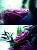 pure love (ًWeda3eah*) Tags: roses green love by soft purple pure qatar weda3eah