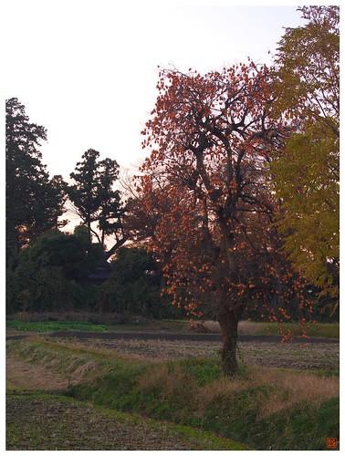 Persimmon tree 081202 #07