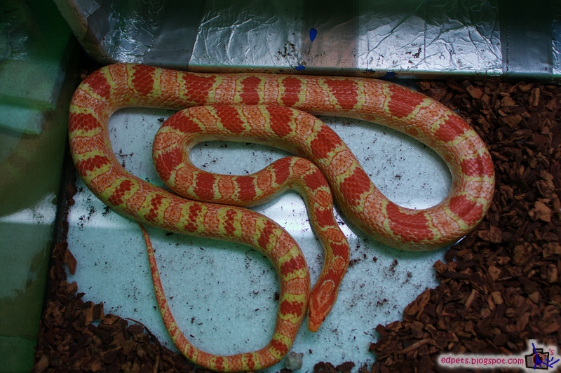 058_2008-12-05 Smygle n Anery Corn Mating