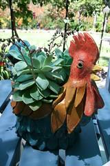 Hens and Chicks (tripletrouble) Tags: chicken garden succulent native australian pot hen subtropical chook timbertoptranquility