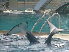 mlf2276 (valkim) Tags: killer whale orca marineland orque