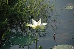 Water Lily (WrldVoyagr) Tags: lake geotagged waterlily lily malaysia clearwater perak batugajah clearwatersanctuarygolfresort geo:lat=4493783 geo:lon=101061725