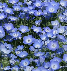 Baby Blue Eyes (lynne_b) Tags: park flower nature garden petals illinois flora seasons estate blossom bloom annual babyblueeyes blueflowers cantignypark wheatonillinois nemopilainsignis