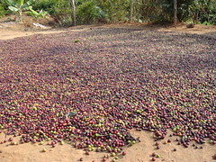 Coffee, laid out for drying (BethelEstate) Tags: brandon norma homestay coorg bethel sheela haseeb sambhav bethelestate 090214