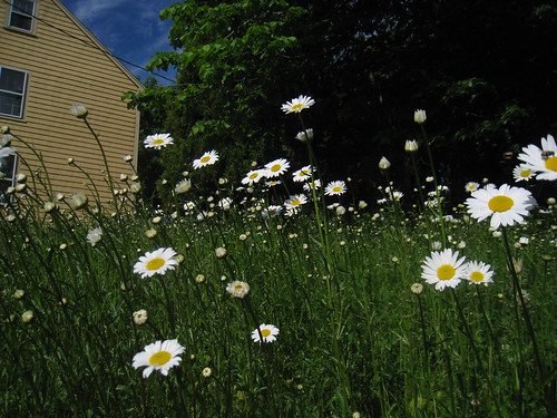 Field of Daisies in Yard