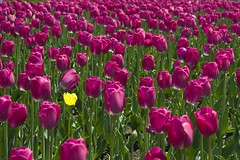 Orphan Yellow Tulip at the Ottawa Tulip Festival (Marie-Marthe Gagnon) Tags: street flowers ontario flower green yellow festival marie spring alone purple many ottawa marthe orphan tulip streetphoto lonely 100 20 outofplace tulipfestival gagnon 3colours iamcanadian ottawatulipfestival flickrchallengegroup flickrchallengewinner mariegagnon mariemarthegagnon mariemgagnon