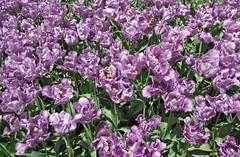 Longwood (PHOTOPHANATIC1) Tags: tulips longwood