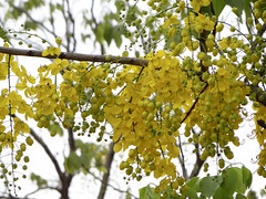 Cassia fistula (ddsnet) Tags: shower sony cybershot cassiafistula tree   cybershor goldenshowertree golden quotgolden    treequot      cassia fistula hx100v quotcassia fistulaquot