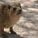Surprisingly Tame Hyrax, Ein Gedi Nature Reserve & National Park, Israel 31/05/2011