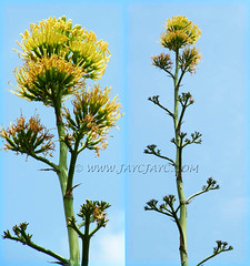 Agave desmettiana (Smooth Agave): focusing on the top one-third of its very tall flowering stalk - June 9 2011