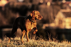 Layla (gutlaunefotos ☮) Tags: vizsla hund magyar layla magyarvizsla