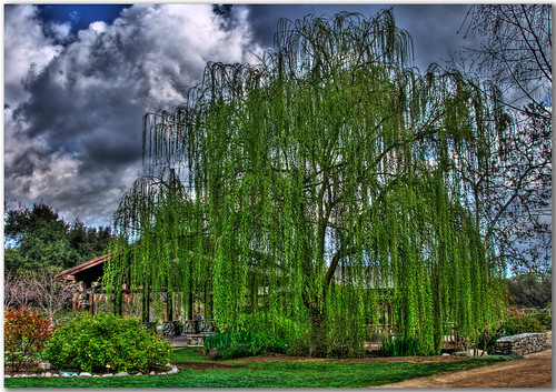 trees sky storm tree green grass gardens clouds canon willow weepingwillow weeping hdr descanso descansogardens xti rebelxti