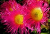 (SmartAnnie (Away)) Tags: pink flowers macro nature flora excellentphotographersaward goldstaraward lookslikecellophane