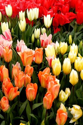 tulipfarmvisit7