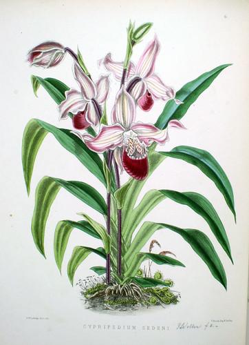Cypripedium sedeni