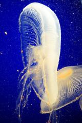 deep blue (rbreve) Tags: blue sea aquarium jellyfish