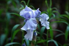 Lavendar Ruffles Iris (johnk6) Tags: iris usa newjersey montague