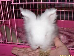 Latte eating from my hand (wardahputeri) Tags: white cute rabbit bunny coffee beautiful fur pretty comel adorable fluffy dwarfrabbit jerseywooly cuddly lil latte bun plushtoy bunbun huggable arnab plushtoys coffeelatte my mixbreedrabbit netherlandsdwarffrenchangoramixbreed arnabcomel mynameislatte lopearedangora