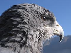Looking for pray (yonatanharel) Tags: vacation peru southamerica birds animals eagle andes animalplanet arquipa goldstaraward valleydelcolca predetors