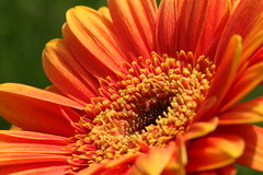 Gerbera_140608_9 (alstroemeria1) Tags: orange schweiz pflanzen luzern gerbera makro garten baum asteraceae farben kriens schnittblume blten amstutzstrasse pflanzensystematisch