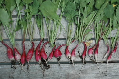 French Breakfast Radish Harvest