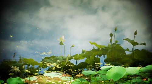 2489 : Lotus2008#9 - Reflection -