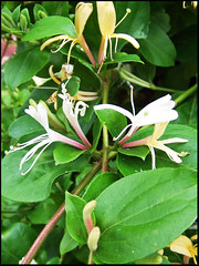 lonicera japonica honeysuckle