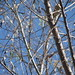 Pine Warbler Pena Blanca November 17, 2007 040